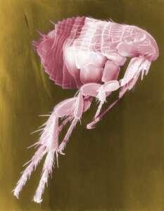 Photo of a flea